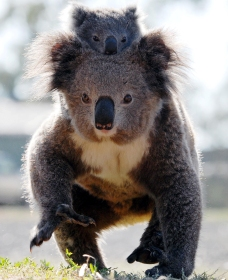 Koalas in Gunnedah - Australia Accommodation